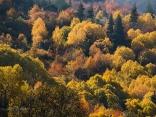 Чиста есен