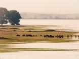 Поле, езеро и биволи
