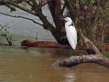 Малка бяла чапла (Egretta garzetta)