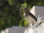 Черногърбо каменарче (Oenanthe pleschanka)