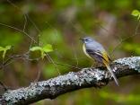 Планинска стърчиопашка (Motacilla cinerea)