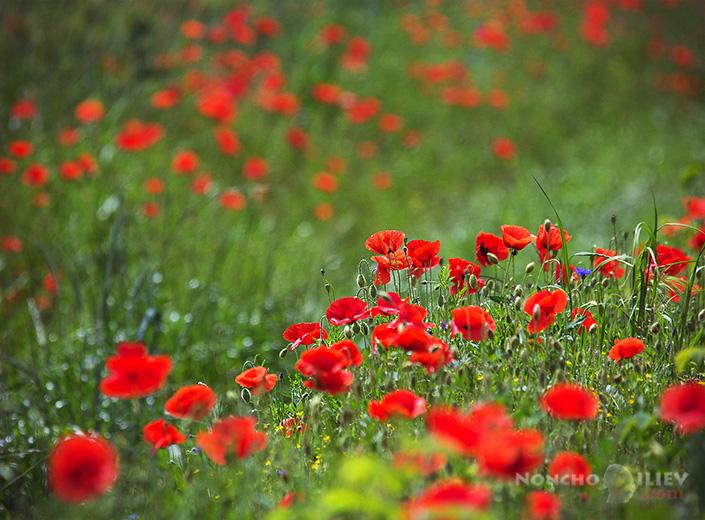 Макове / poppies фотография