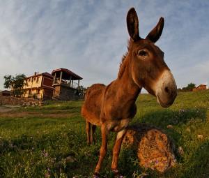 Магаре по залез в Родопите