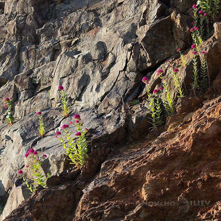 Цветя на скалите