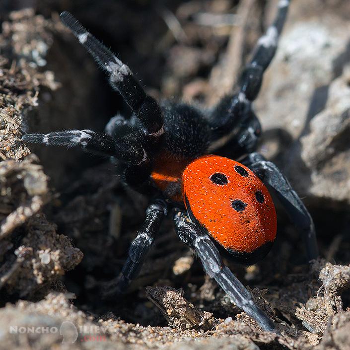 Мъжки паяк хусар