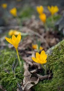 минзухари пролет