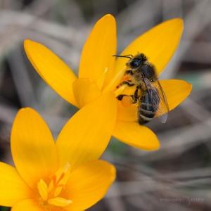 минзухари пролет пчела