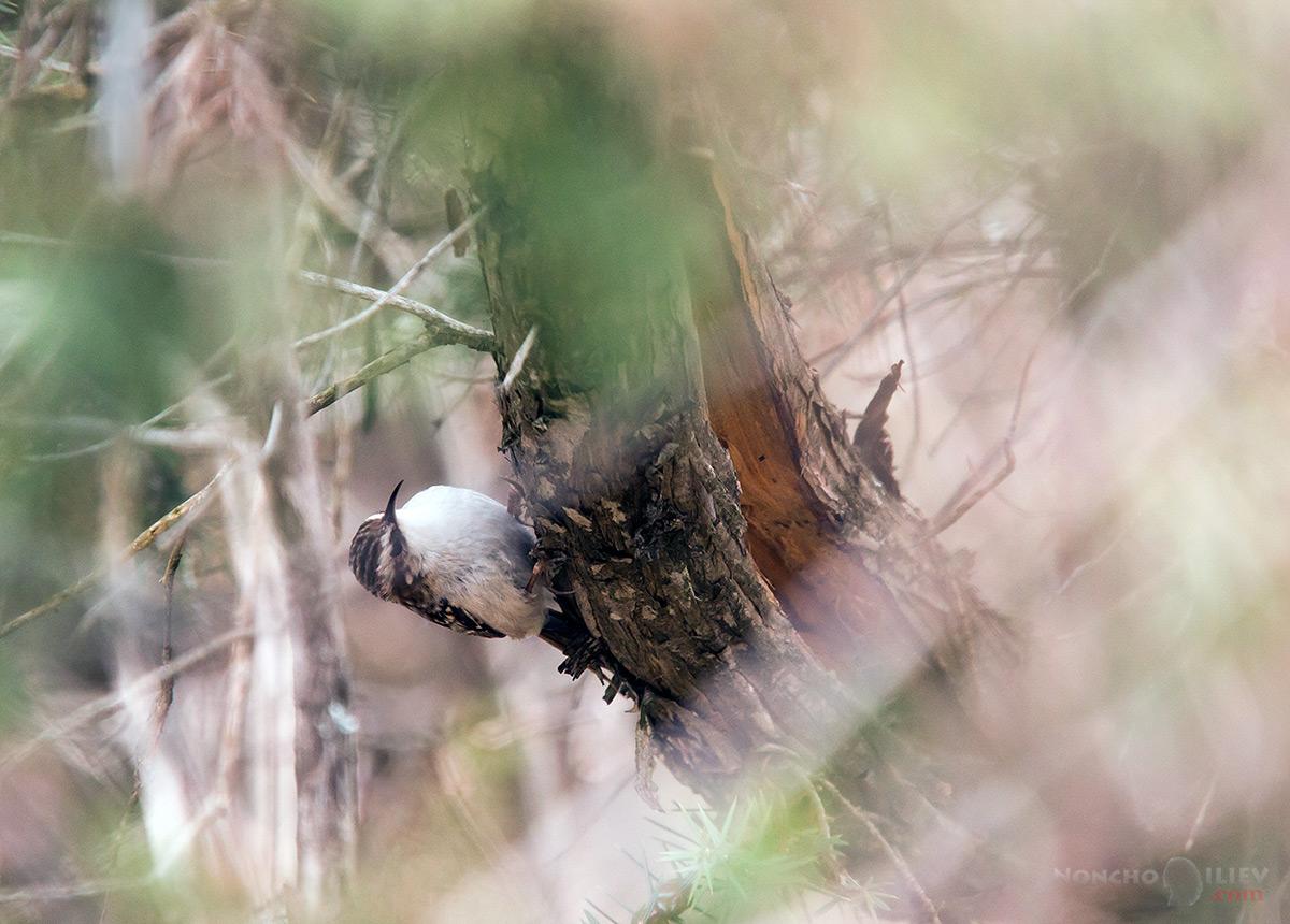 горска дърволазка