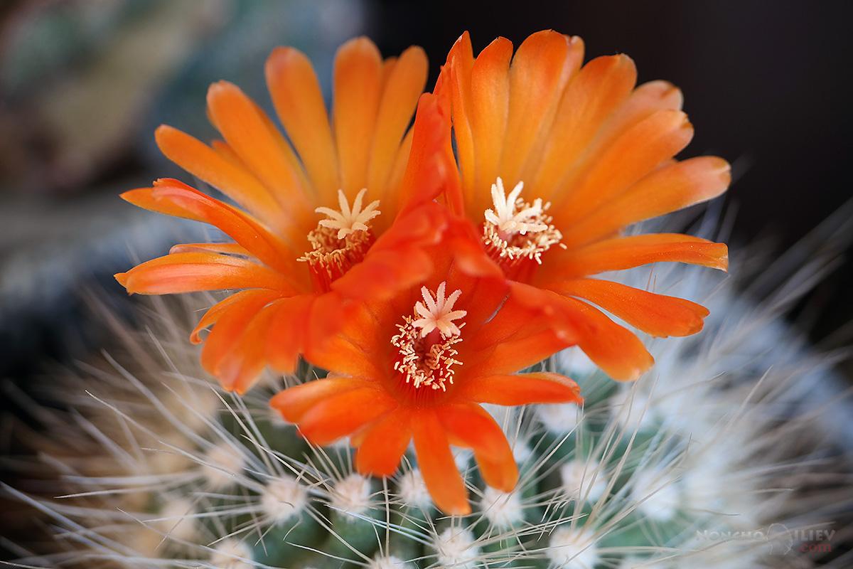 кактус цвят червен