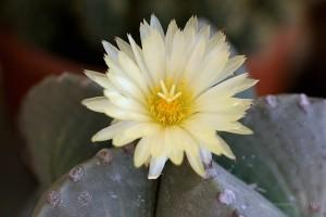 кактус цвят