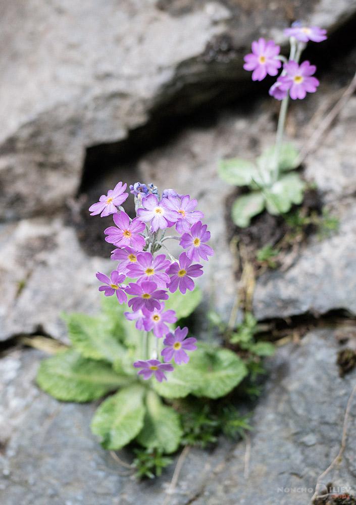 пролет старопланинска иглика
