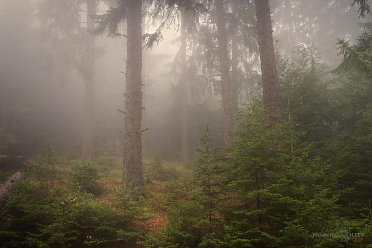 мъгла в гората