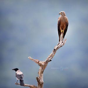 черна каня и сива врана
