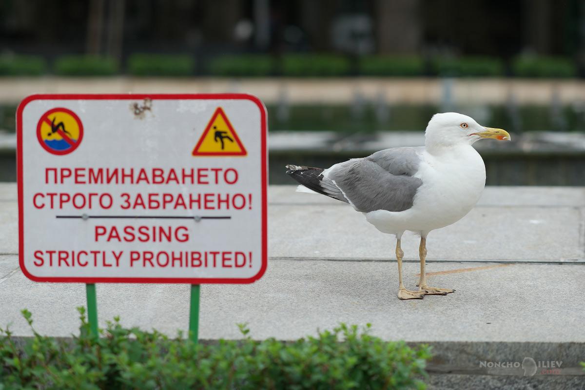 Варна чайка