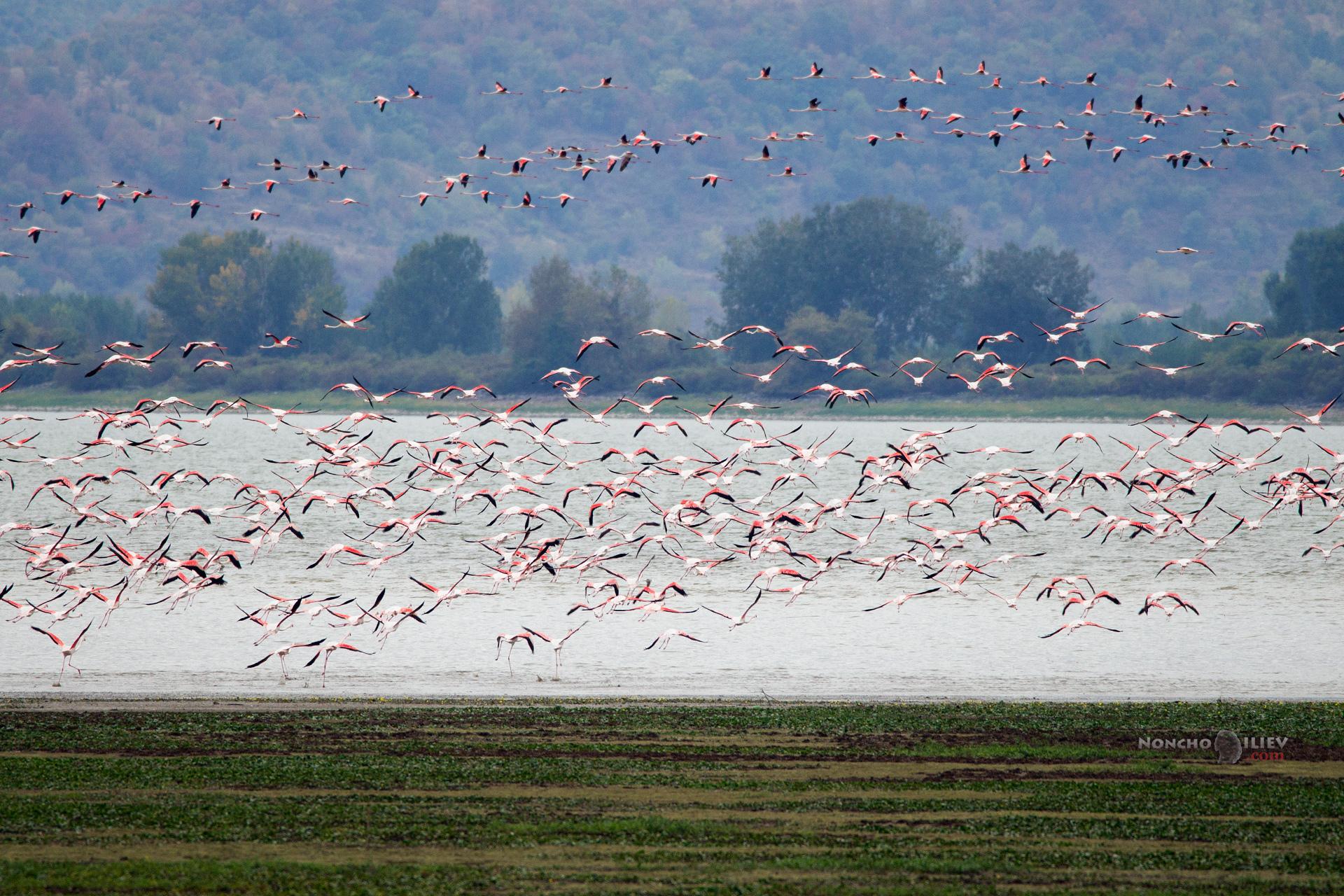 Фламинго Керкини