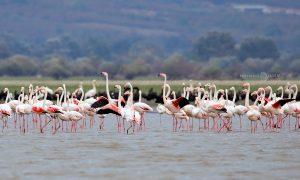 Розово фламинго Керкини