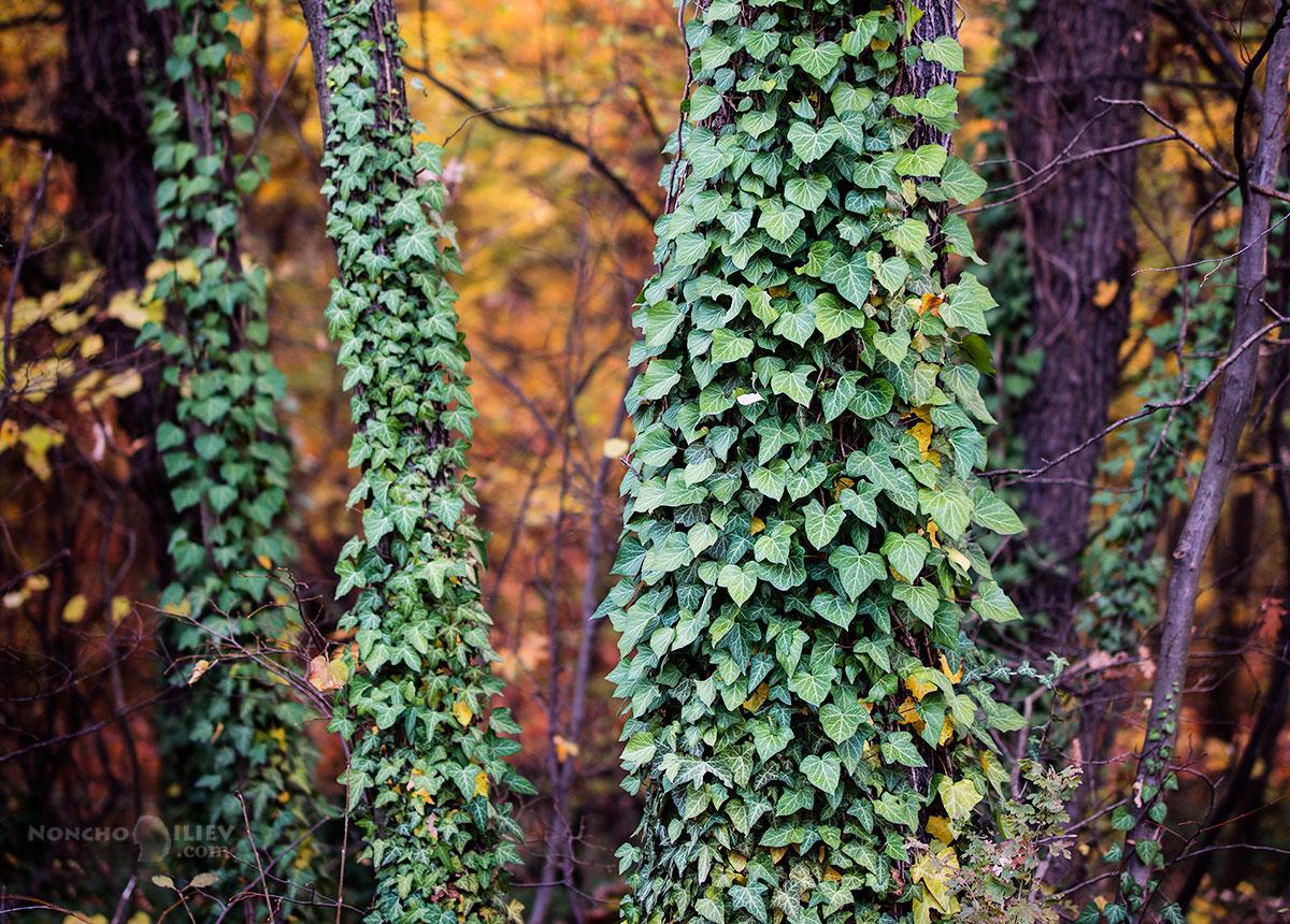 есен с бръшлян