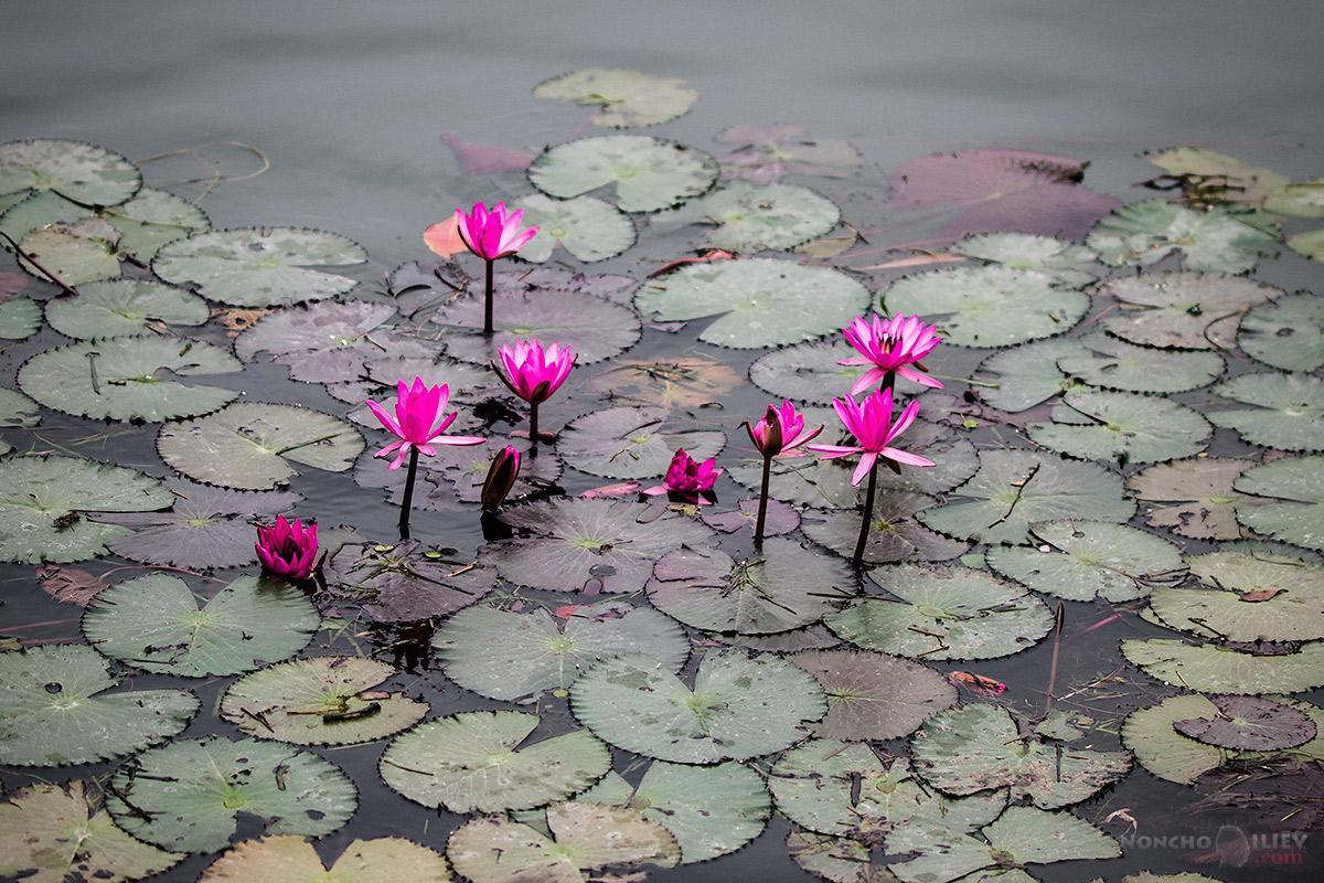 розови лилии