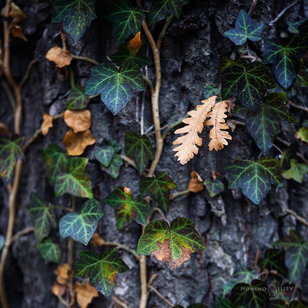 бръшлян дърво парк