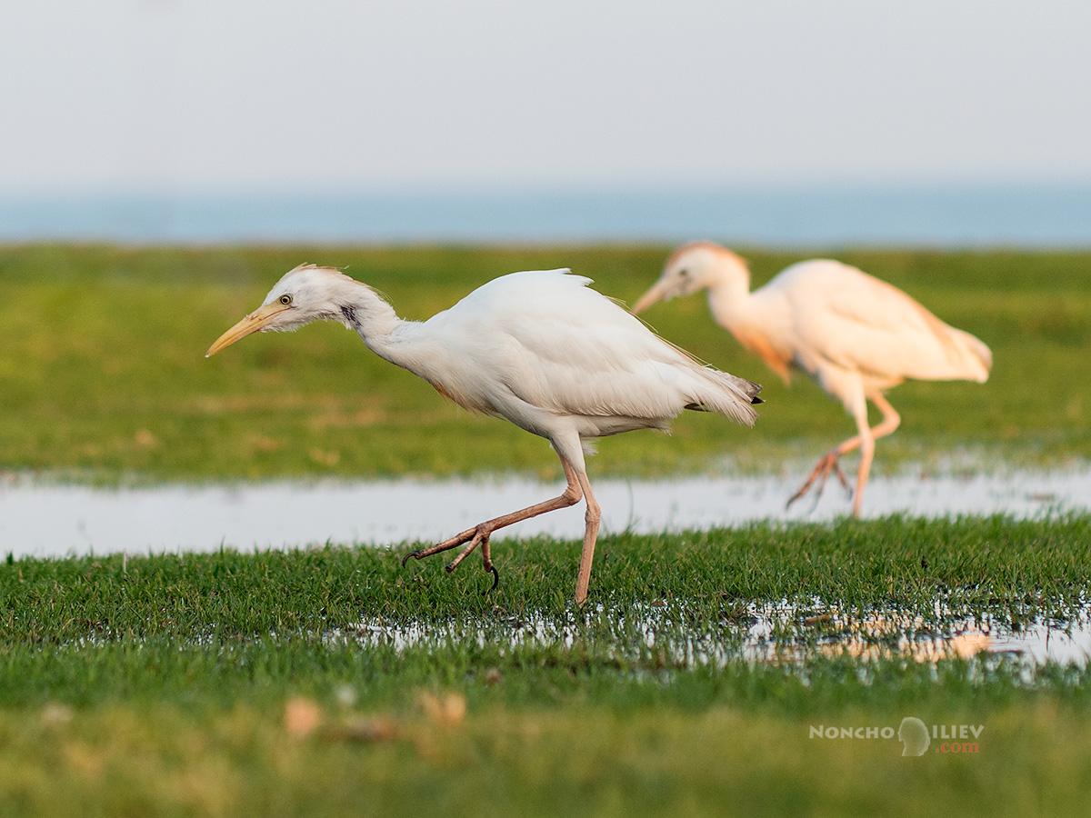биволска чапла Cattle Egret Bubulcus ibis
