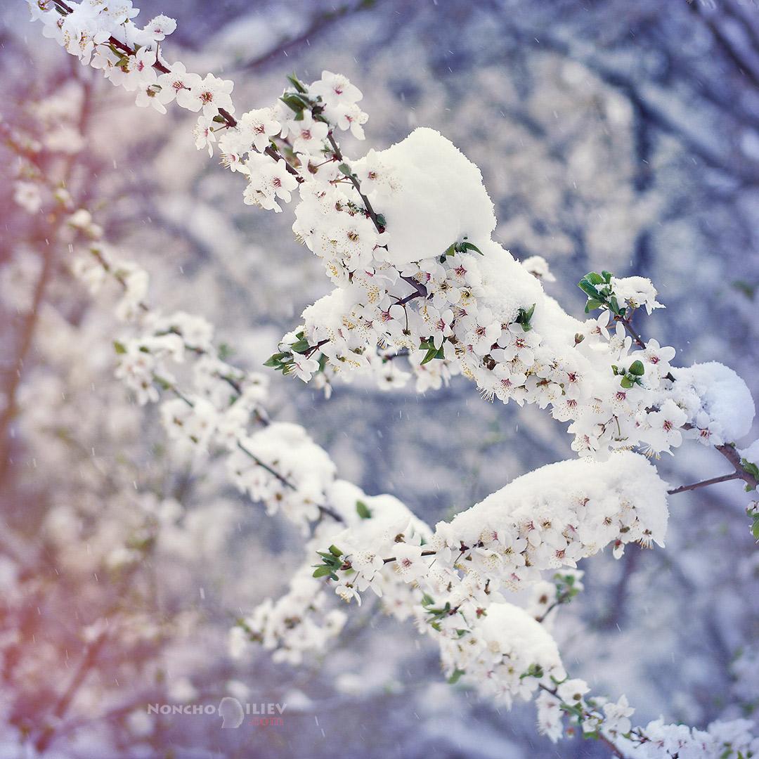 цвят и сняг