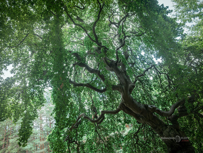 Кривото дърво