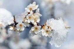 цвят със сняг