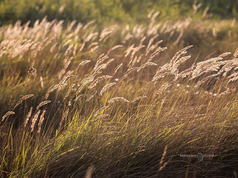 Крайбрежни треви